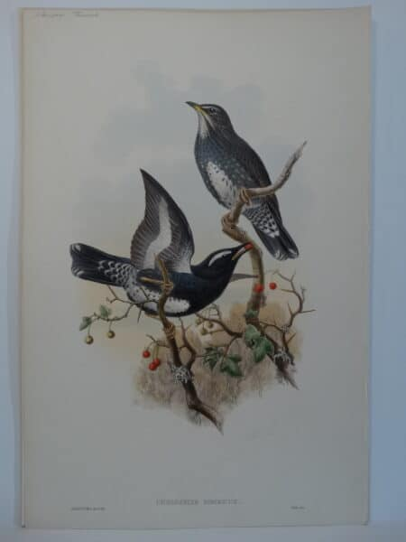 black white thrushes
