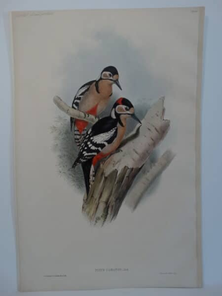 Antique Woodpeckers Lithograph