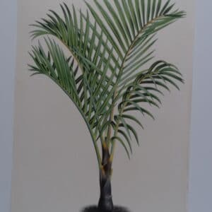 endangered Spindle Palm trees