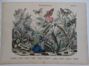 Shubert butterflies & moths engraving plate 55