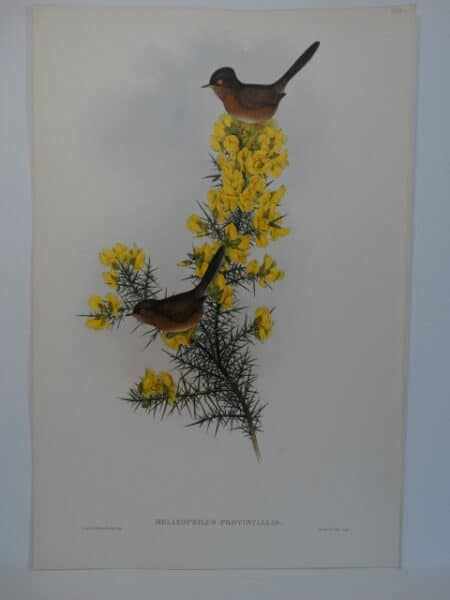 English Dartford Warbler Forsythia