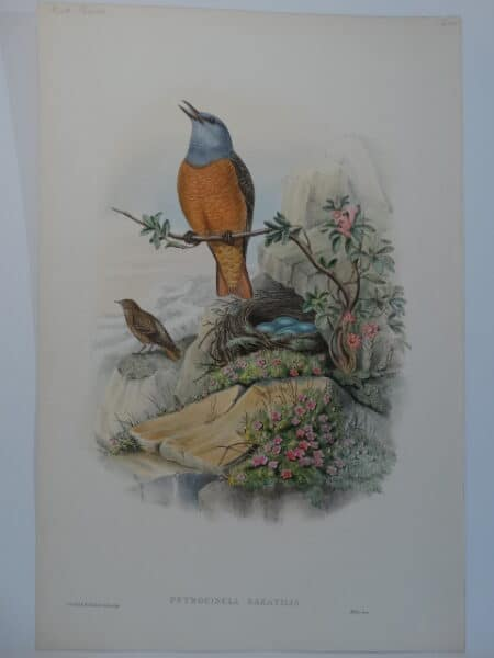 Singing Rock Thrush with nest