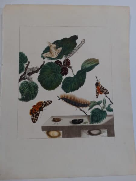 Aurelian English Entomology Engraving
