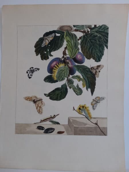 Aurelian antique butterfly engraving