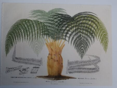 royal mexican tree fern Palm antique lithograph