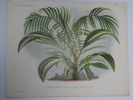 Cliff Date Palm Belgian antique lithograph