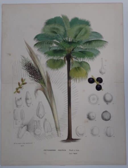 Fiji Fan Palm seed