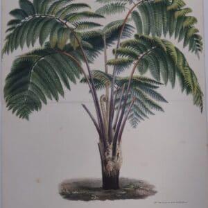 soft tree fern