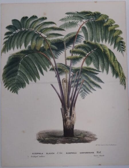 soft tree fern palm