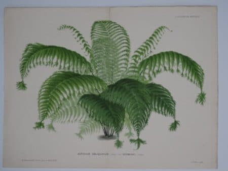 Medicinal Fern Antique Lithograph