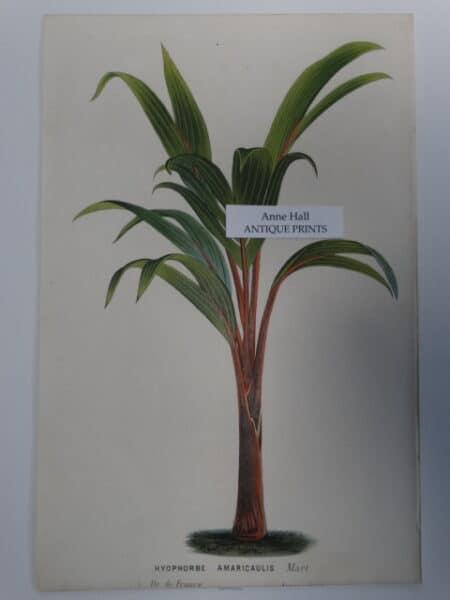 Palms Hyophorbe Amaricaulis