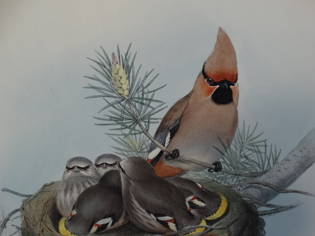 Antique lithographs hand colored engravings of Passerines or bird feeder types.