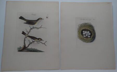 Pettychaps birds nest eggs