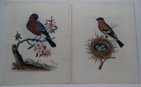 19th century bullfinch watercolor