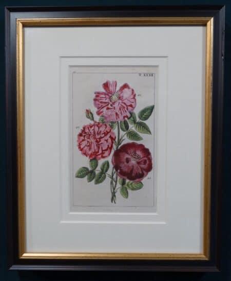 decorative Wilhelm roses engraving