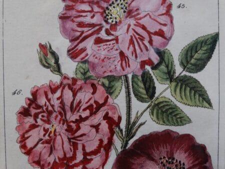 original rose watercolor engraving
