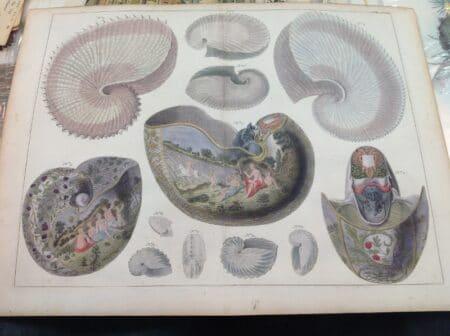 Nautilus seashells, rare engraving, published 1734-1754, by Albertus Seba for Locupletissimi Rerum Naturalium Thesauri Accurata Descriptio.