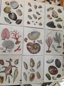 A decorative collection of watercolor engravings from the late 18th century of sea shells.