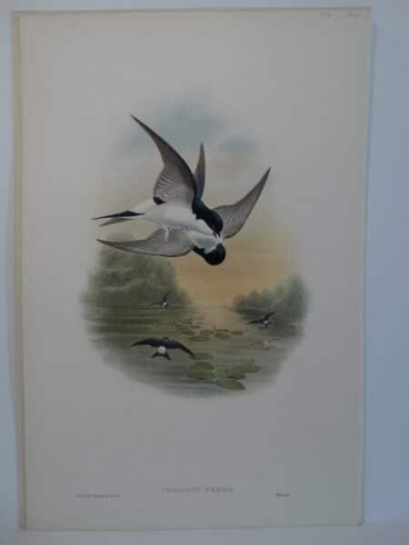 House Martin Swifts in flight