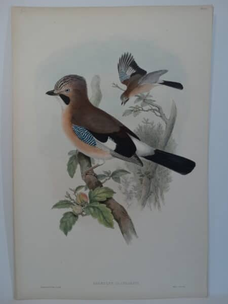 European Blue Jay Lithograph