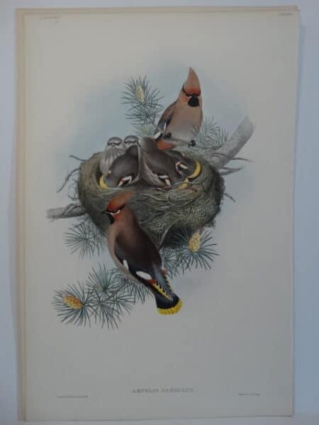 Bohemian Cedar Waxwing Bird Nest