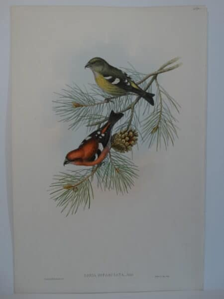white winged two barred crossbill
