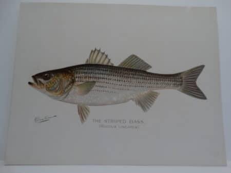 Striper or Rockfish