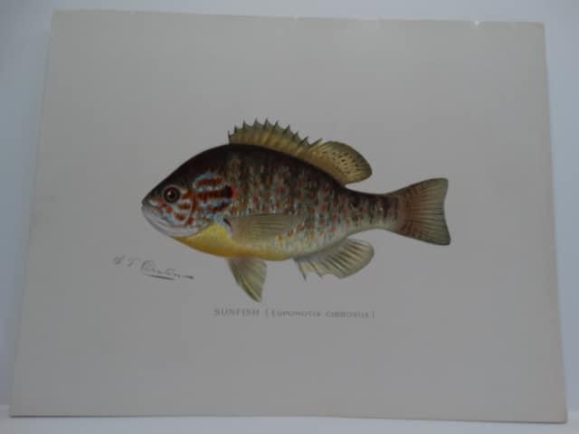 Fishing Redbreast Sunfish