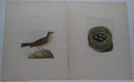 Titlark or Pipit Ground Bird