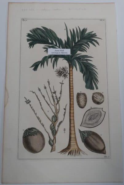 Rumph Burmann Palm Trees P31TIV