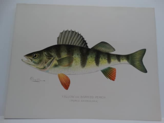 Perca Americana Denton lithograph