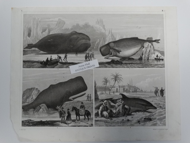antique bookplate whale engraving showing 4 different kinds of whales $150.