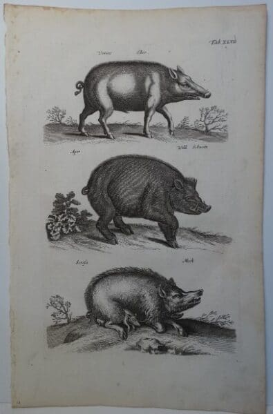 early old depictions of pigs hogs and wild boars