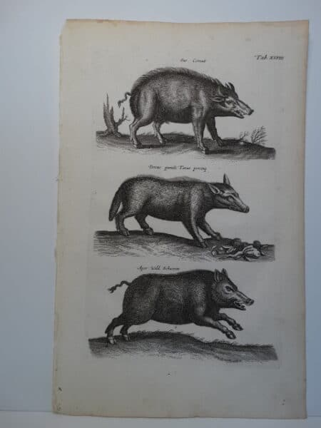 images of wild boar swine