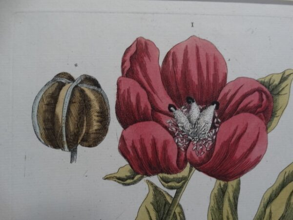 Mid 18th century antique peony engraving with watercolors..