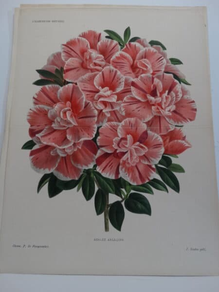 candy striped azaleas-rhododendrons lithograph