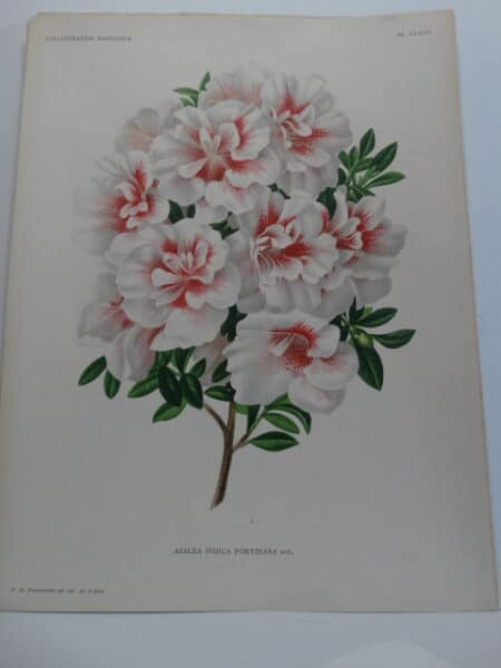 antique lithograph of azalea