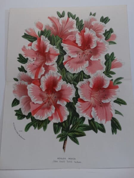 striped azaleas-rhododendrons antique lithograph