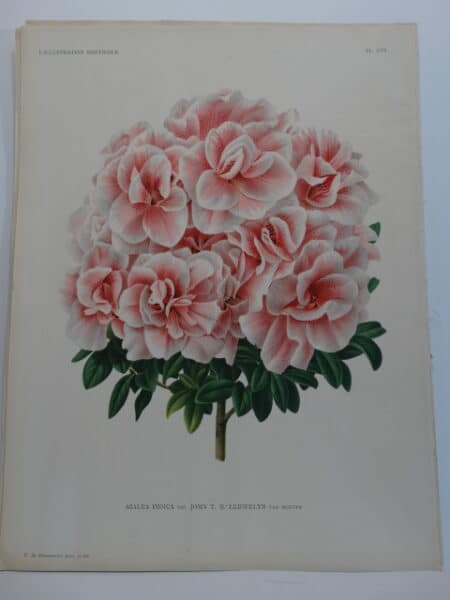 stunning pink azalea lithograph