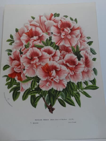 Fabulous antique lithograph azalea