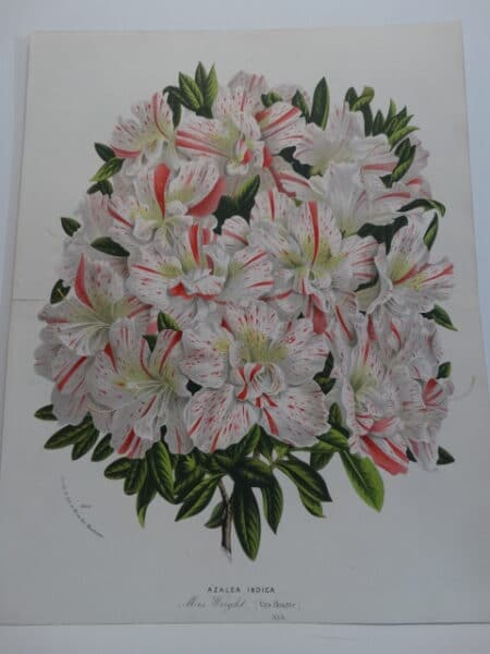 azaleas-rhododendrons striped in pink and white