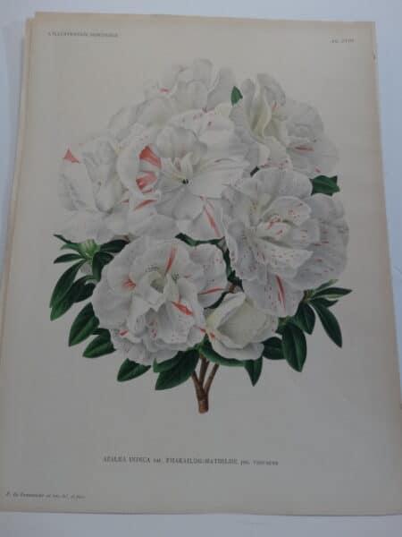 white azaleas 19th century