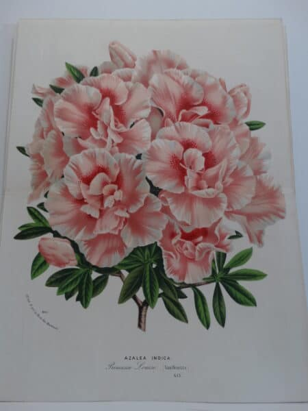 exceptional azalea 19th century