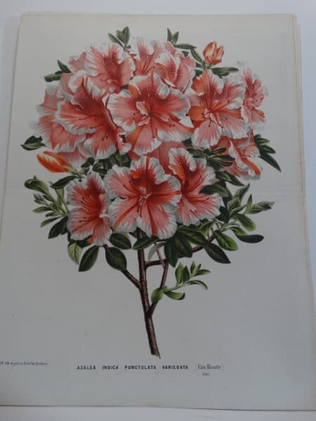 striking antique azalea print
