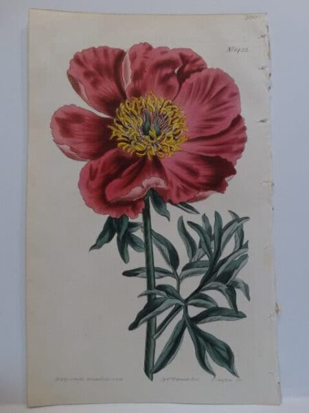 Plate 1422 Magnificent Peonia published by T. Curtis St. Geo Crescent Sept 1 1807 Syd Edwards Del F Sanson Sc.