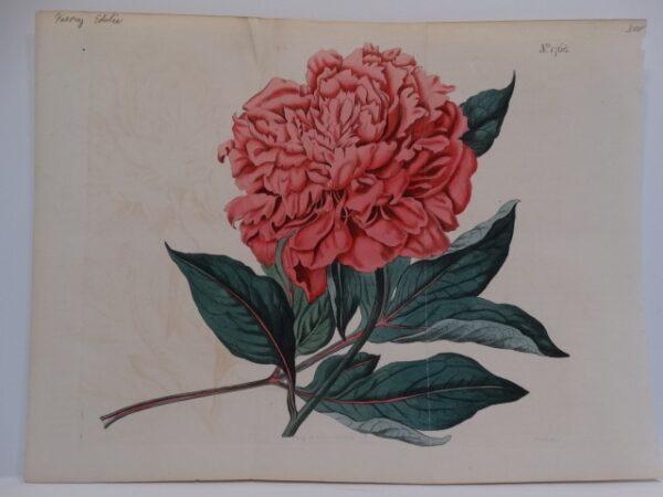 c.1900 Curtis Botanical Magazine featured foldout engraving of pink peony.