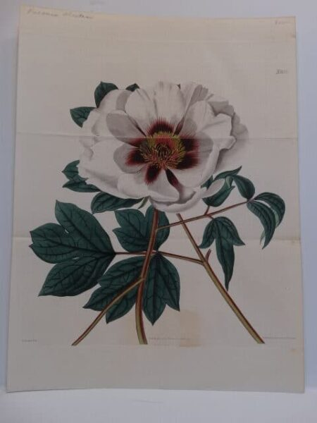Curtis Botanical Magazine Peony engraving which is about 220 years of age.