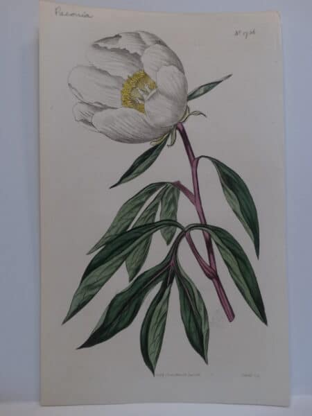 Beautiful 200 year old antique peony engraving. White flower with yellow stamens.