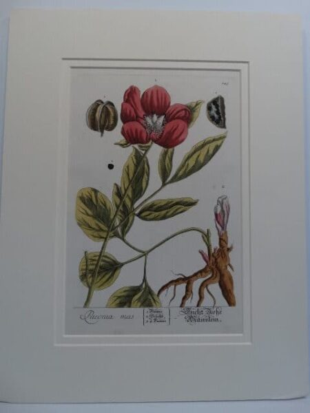 A leaf or bookplate from a medical Curious Herbal by Elizabeth Blackwell. Mid 18th century antique engraving, of paeonies, or peony, with watercolors.
