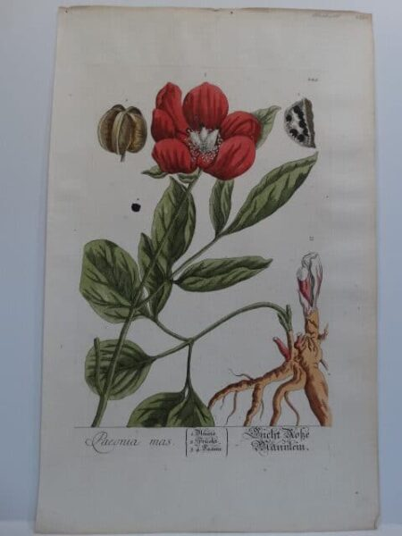 Exception botanical illustration from Elizabeth Blackwell's, Curious Herbal.